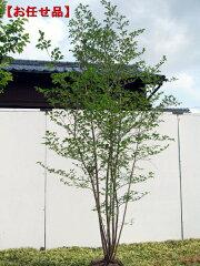 白花!ボリューム株!!エゴノキ 株立樹高2.0m以上(根鉢含まず)