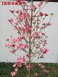 【開花中】アップルブロッサム [一番売れてるハナミズキ]樹高2.0m(根鉢含まず)【大型商品・配達日時指定不可】