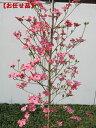 アップルブロッサム [一番売れてるハナミズキ]樹高2.0m前後(根鉢含まず)シンボルツリー 庭木 植木 落葉樹 落葉高木