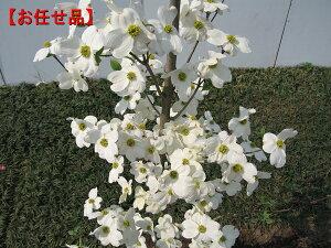 純白の大輪種クラウドナイン [ハナミズキ]樹高2.5m(根鉢含まず)
