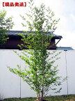 【現品発送】シャラノキ夏椿[ナツツバキ]株立 樹高2.6-2.7m(根鉢含まず)【大型商品・配達日時指定不可】