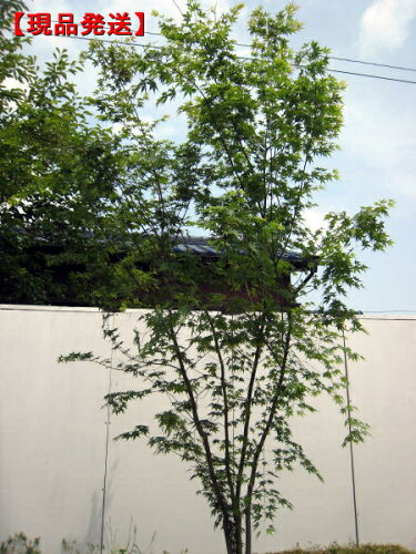 イロハモミジ株立 樹高2.1m-2.5m(根鉢含まず)