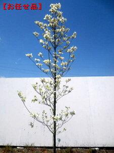 クラウドナイン [ハナミズキ]樹高2.5m(根鉢含まず)