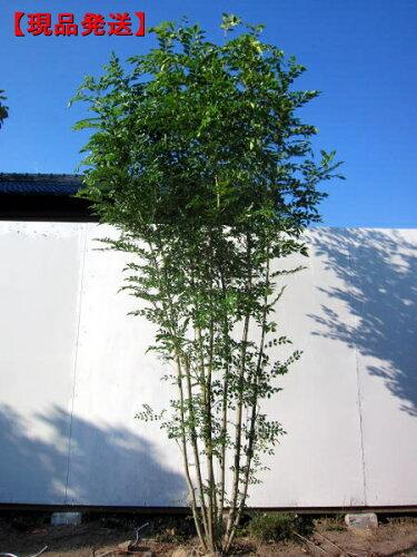 シマトネリコ樹高2.4-2.5m(根鉢含まず) 株立