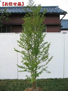 初夏に咲く清楚な花♪ ヒメシャラ (姫夏椿)株立樹高2.0m以上(根鉢含まず)