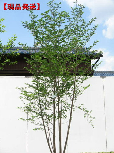 エゴノキ 株立樹高1.9-2.2m(根鉢含まず)