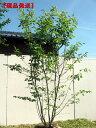 花・紅葉・実どれをとっても楽しめます【現品発送】ジューンベリー (ラマルキー)樹高2.1-2.5m(...