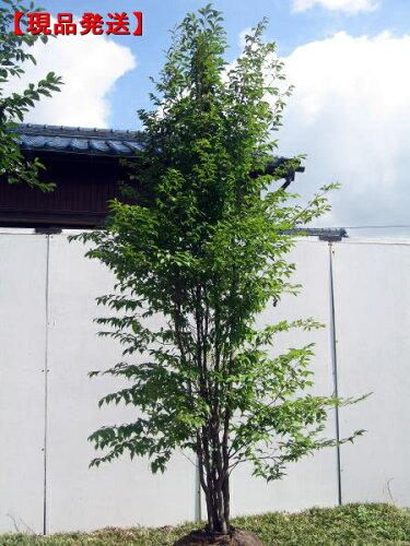 ヒメシャラ(姫夏椿) 株立 樹高2.0-2.2m(根鉢含まず)