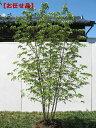ヤマボウシ株立 樹高2.0m前後(根鉢含まず) シンボルツリー 庭木 植木 落葉樹 落葉高木【送料無料】
