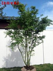 紅葉の美しさは一番 イロハモミジ株立 樹高2.0m(根鉢含まず)