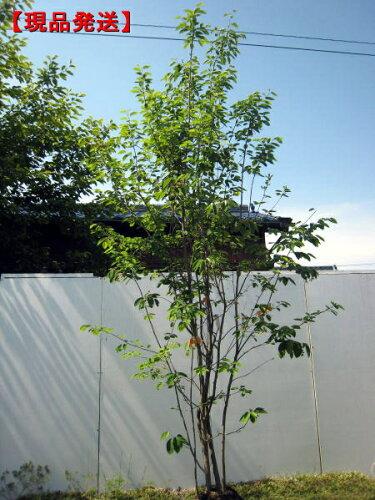ジューンベリー (ラマルキー)樹高2.4-2.7m(根鉢含まず)【大型商品・配達日時指定不可...