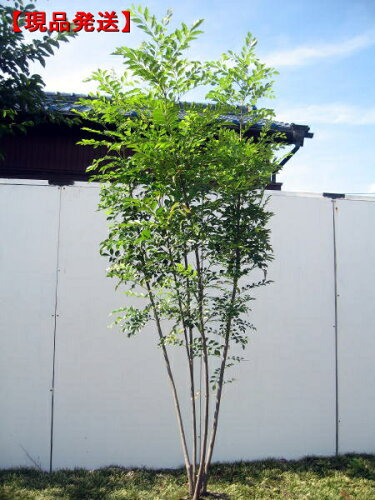 シマトネリコ樹高1.8-2.0m(根鉢含まず) 株立