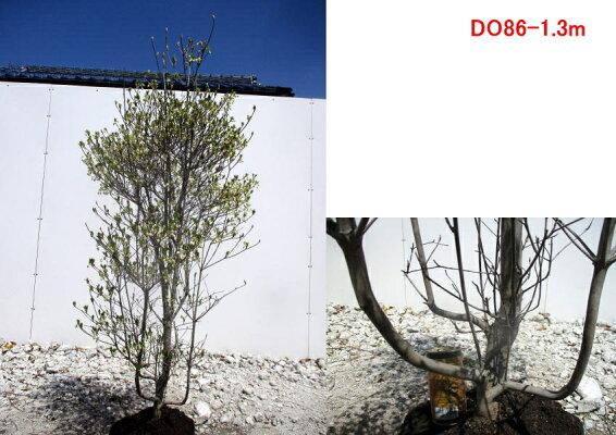 【現品発送】ドウダンツツジ(白花)樹高1.1m-1.5m(根鉢含まず)