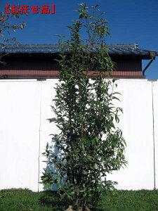 株立!シラカシ(白樫)樹高2.0m(根鉢含まず)