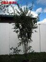 【現品発送】ハイノキ 株立樹高1.6-1.7m(根鉢含まず) シンボルツリー 庭木 植木 常緑樹 常緑高木【送料無料】