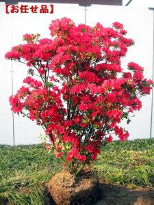 めったにないサイズ!特大!!久留米ツツジ(クルメツツジ)筑紫紅(チクシベニ)樹高1.0m(根鉢含...