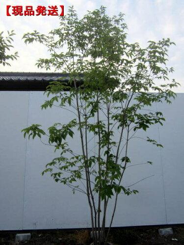 アオダモ 株立樹高2.0-2.4m(根鉢含まず)