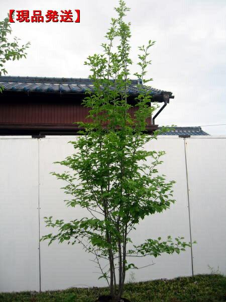 【現品発送】アオハダ 株立樹高2.1-2.5m(根鉢含まず)シンボルツリー 庭木 植木 落葉樹 落葉高木