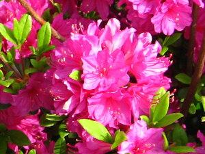 ツツジつめ放題! クルメツツジ(久留米ツツジ)胡蝶の舞(コチョウノマイ)紫花約0.3m(根鉢含む)