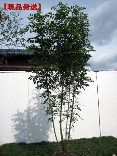 シマトネリコ樹高1.8-2.1m(根鉢含まず) 株立