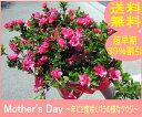 母の日ギフト【送料無料】【産地直送】珍しい四季咲きツツジがこのボリューム(特大サイズの6号鉢)【楽ギフ_包装】【楽ギフ_メッセ入力】