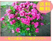四季咲き ボリューム