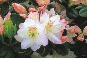 ツツジつめ放題! クルメツツジ(久留米ツツジ)アズマカガミ桜花八重一重約0.3m(根鉢含む)