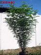 シマトネリコ樹高約1.5m前後(根鉢含まず) 株立