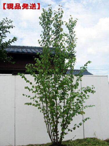 カツラ 株立樹高1.9-2.7m(根鉢含まず)