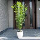 シマトネリコ 株立 7号 化粧鉢樹高0.8m前後(鉢底から)