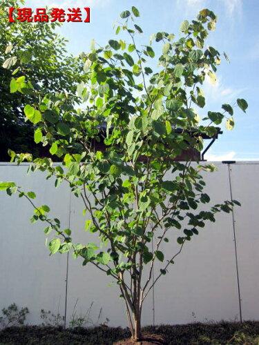 マルバノキ 樹高1.3-1.9m(根鉢含まず)