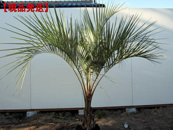 【現品発送】ココスヤシ樹高0.8m(根鉢含まず) 南国 シンボルツリー 庭木 植木 常緑樹 常緑高木
