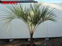 【現品発送】ココスヤシ樹高0.7-0.8m(根鉢含まず) 南国 シンボルツリー 庭木 植木 常緑樹 常緑高木