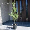【選べる品種】オリーブの木鉢植え特大7号ポット(21cmポット) 90cm前後(ポット含む)【翌日発送可】【母の日】【ははのひ】【ギフト】【記念樹】【新築祝い】【送料無料】