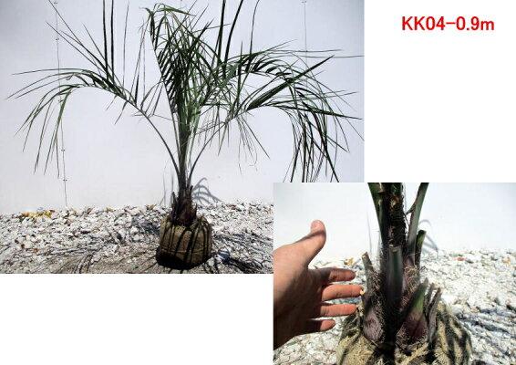 【現品発送】ココスヤシ樹高0.7m(根鉢含まず)