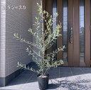 【送料無料】【選べる11品種】オリーブの木鉢植え特大7号ポット(21cmポット) 80cm前後(根鉢含まず)【翌日発送可】【母の日】【ははのひ】【ギフト】【記念樹】【新築祝い】