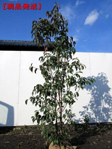常緑ヤマボウシ「月光」本株立 樹高1.6m-1.9m(根鉢含まず)【大型商品・配達日時指定...
