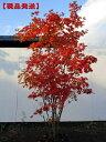 【現品発送】コハウチワカエデ株立 樹高1.7-2.0m(根鉢含まず)シンボルツリー 庭木 植木 落葉樹 落葉高木【送料無料】