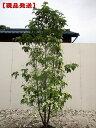 【現品発送】常緑ヤマボウシ「月光」株立 樹高1.7-2.0根鉢含まず) シンボルツリー 庭木 植木 常緑樹 常緑高木