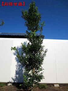 庭木の王様モチノキ(ホンモチ)樹高2.0m(根鉢含まず)