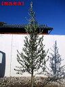 【現品発送】オリーブの木(アルベキナ)樹高1.9m-2.5(根鉢含まず)シンボルツリー 庭木 植木 常緑樹 常緑高木【送料無料】