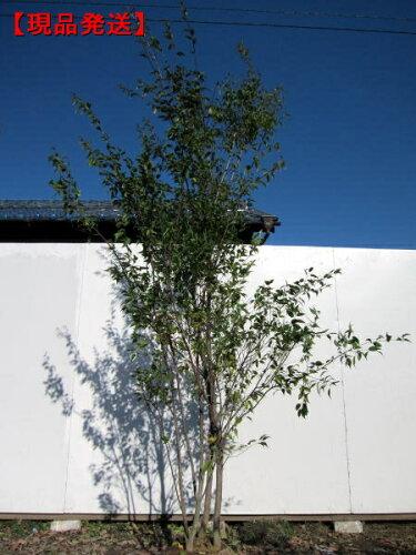 ハイノキ 株立樹高1.9-2.1m(根鉢含まず)