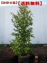 【送料無料】赤花カラタネオガタマ(ポートワイン) 樹高1.2m前後(根鉢含まず)