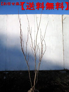 【送料無料】マルバノキ 株立樹高1.0m前後(根鉢含まず)