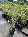 【送料無料】15本セット キンマサキ(フイリマサキ)樹高80cm前後(根鉢含まず) 生垣 生け垣 庭木 植木 常緑樹