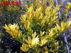 鮮やかな葉色【現品発送】黄金モチノキ(オウゴンモチノキ)樹高1.5-1.7m(根鉢含まず)