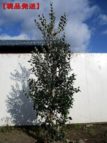 フェイジョア(アポロ)実のなる特大サイズ!樹高1.5-1.9m(根鉢含まず)
