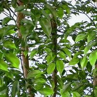 屋外用ミニ・フィカスベンジャミンB・パーテーション全高1.8m(野外対応)(間仕切りタイプ)(フェイクグリーン/造花・観葉植物/人工樹木)