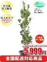 観葉植物 ガジュマル 10号【全国配送対応商品 おしゃれな大...