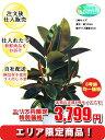 観葉植物 フィカスエラスティカ8号【エリア限定激安!おしゃれ...